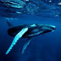 Hành vi săn mồi khác thường của cá voi lưng gù