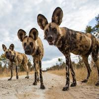 Chó hoang châu Phi đối mặt nguy cơ tuyệt chủng vì nóng