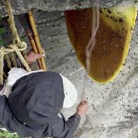 Mật ong điên tạo cảm giác hưng phấn như cần sa