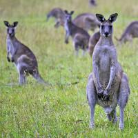 Australia kêu gọi người dân ăn thịt kangaroo