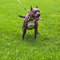 Điểm danh những giống chó nguy hiểm nhất thế giới