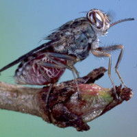Phát hiện ra cơ chế hút, truyền bệnh chết người của ruồi xê xê