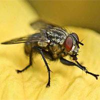 """Tin được không, hóa ra loài ruồi vẫn biết """"rửa tay"""" trước khi ăn đấy"""