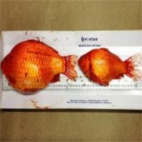 Cá vàng to bằng chiếc đĩa gây họa cho thành phố Canada