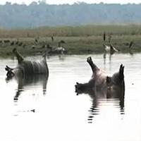 Hơn 100 hà mã chết trên sông nghi do bệnh than ở Namibia