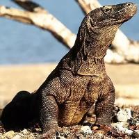 Máu rồng Komodo sẽ được bào chế thành kháng sinh mới