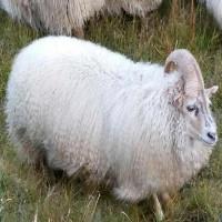 Cừu một sừng thoát lò mổ vì giống kỳ lân