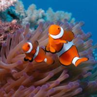 Cá hề Nemo đứng trước nguy cơ tuyệt diệt