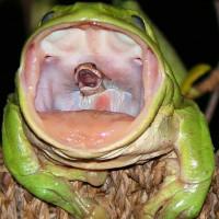 Khoảnh khắc rắn ngoi lên tìm đường thoát thân từ họng ếch