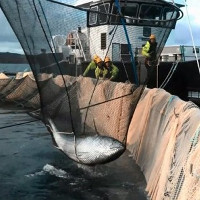 Cá ngừ ba tạ gây náo loạn ở trang trại cá hồi
