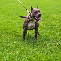 Khả năng đáng sợ của chó Pitbull: Nhảy cao hơn 4m, kéo xe nặng 5 tấn