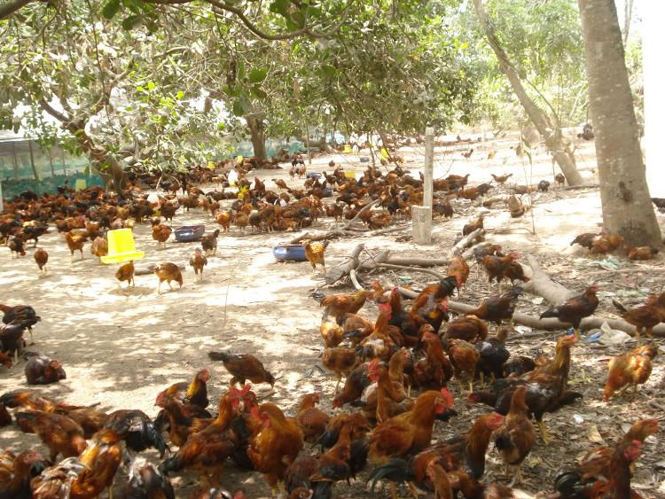 kỹ thuật nuôi gà thịt thả vườn | Món Miền Trung