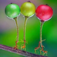Kiến mang trái cây lớn gấp 5 lần cơ thể