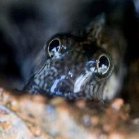 Loài cá sợ nước chuyên sống trong hang động trên vách đá