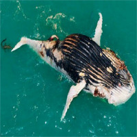 Thấy cá voi nổi trên biển, người đàn ông lại gần mới giật mình vì cảnh tượng hãi hùng