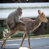 """Chuyện """"quái đản"""" trong tự nhiên: Loài khỉ Nhật Bản làm """"chuyện ấy"""" với... hươu"""