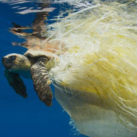 """Báo động rác thải nhựa """"tận diệt"""" rùa biển"""