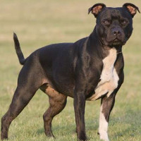 Mỹ: Những lý do đáng sợ khiến chó pit bull giết và ăn thịt chủ
