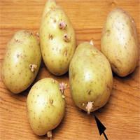 Tại sao khoai tây mọc mầm gây độc cho cơ thể?