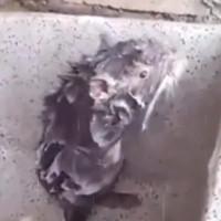 Chuột đứng tắm như người ở Peru