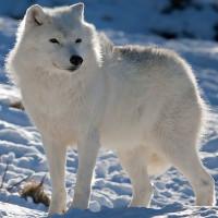 Những sự thật thú vị về động vật sống tại vùng Bắc cực