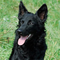 5 giống chó hiếm nhất thế giới