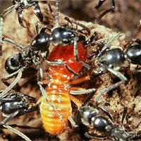 Bí mật loài kiến khổng lồ có khả năng chữa vết thương cho đồng loại