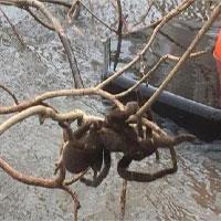 Lũ lụt ở Úc làm lộ diện nhện khổng lồ to hơn chó