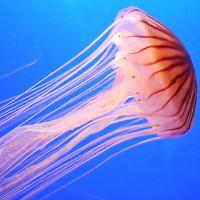Bí mật tiến hóa giúp sứa tồn tại mà không cần tim lẫn não