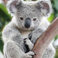 Vì sao gấu Koala vốn không hay uống nước nhưng giờ chúng thường xuyên làm?