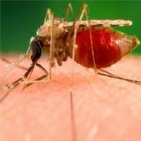 Tìm ra loại thuốc chống sốt rét có khả năng biến máu người thành độc tố với muỗi