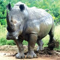 Sừng tê giác chỉ có dược lý như sừng trâu, sừng bò…