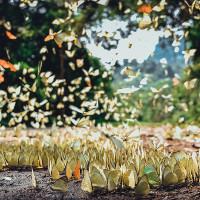 """""""Lạc lối"""" giữa rừng bướm ở vườn quốc gia Cúc Phương"""