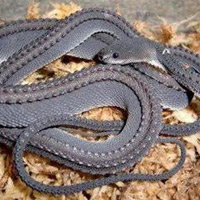 Lạ kỳ loài rắn có vảy cứng như rồng trong truyền thuyết