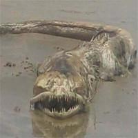 Quái ngư răng nhọn dạt vào bãi biển Mexico