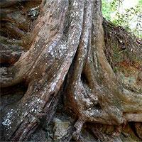 """Cụ cây thông đỏ """"thành tinh"""", hơn 450 tuổi vẫn """"quấn quýt"""" gây sốc"""