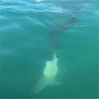 """Kinh dị cảnh cá mập cắn cụt đuôi đồng loại, nhai """"chóp chép"""""""