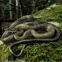 """Loài rắn lớn nhất Nhật Bản có thể """"vô tư"""" leo tường vào nhà dân mà chẳng ai sợ - vì sao?"""