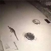 Cuộc đào tẩu lúc nửa đêm của cá sấu sắp bị làm thịt ở Trung Quốc