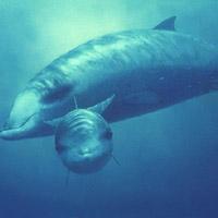 Top động vật có vú lặn sâu nhất thế giới