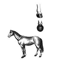 Tại sao chân ngựa phải đóng móng sắt?