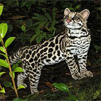 Cận cảnh loài mèo rừng dễ thương nhất thế giới