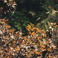 Trong năm qua, hàng nghìn con bướm đã bốc hơi mà các nhà khoa học chưa biết tại sao