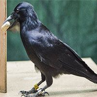 Nghiên cứu mới xác nhận một trong những loài chim thông minh nhất thế giới chính là quạ!
