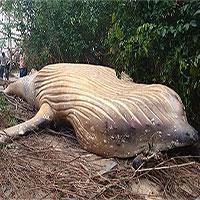 Bí ẩn xác cá voi khổng lồ tìm thấy trong rừng rậm Brazil