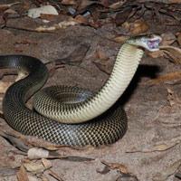 """""""Quái vật"""" rắn độc dị biệt nhất hành tinh: Chuyên cắn người đang ngủ say, nọc làm tan máu"""