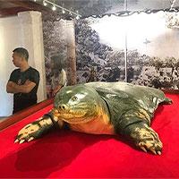 Tiêu bản cụ rùa hồ Gươm được đưa vào đền Ngọc Sơn