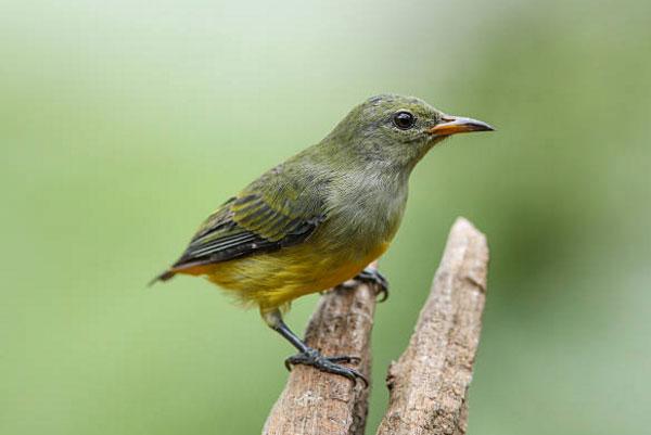 Chim sâu trống có 2 sợi lông đuôi dài hơn so với lông ở những vị trí khác