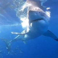 Cá mập trắng dài 5 m lao vào cắn lồng chở thợ lặn