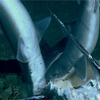 """Bắt gặp cảnh """"liên hoan xác thịt"""" dưới đáy đại dương và số phận của """"vua săn mồi"""""""